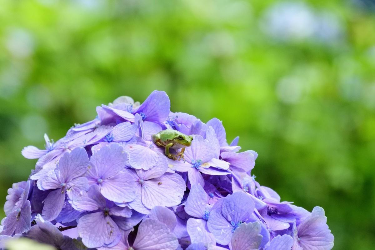 翻翻古籍,聊聊「紫阳花」名字的由来