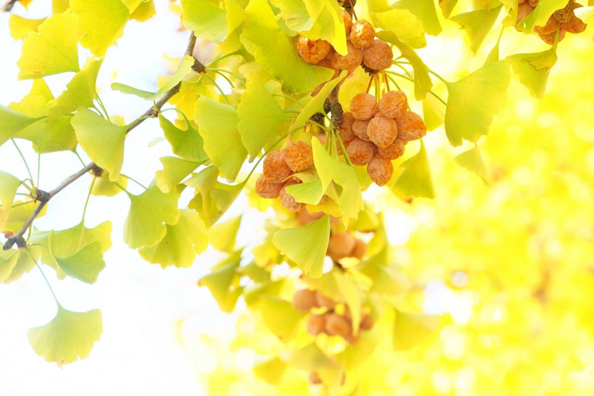 银杏树:起源与豆知识